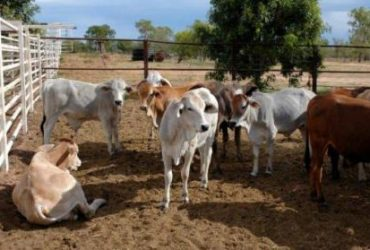 Cows and Calves for sale