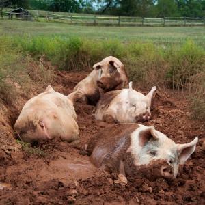 Large white Landrace Pigs for sale!!