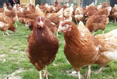 Point of Lay Brown Lohmann Chickens available for sale