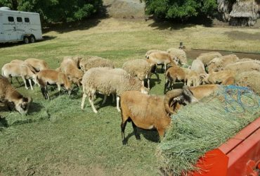 Sheep & Goat Ewes, Rams and Kids For Sale Whatsapp/Call: +27631521991