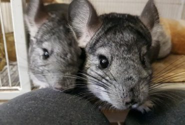 Chinchilla male and female looking for a new home