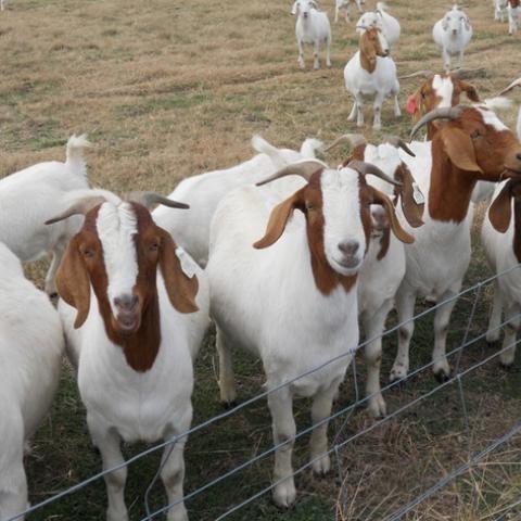 Top quality Live Goats .
