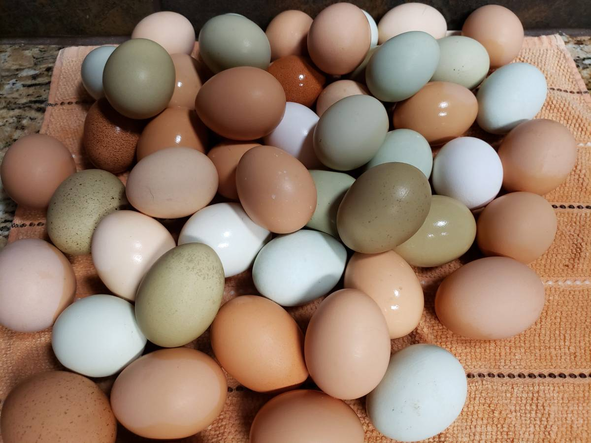 Best Quality Organic Fresh Chicken Table Eggs & Fertilized Hatching Eggs whatsapp +27734531381