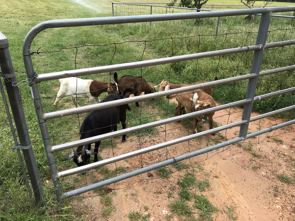 Dairy & beef goats for sale whatsapp +27734531381