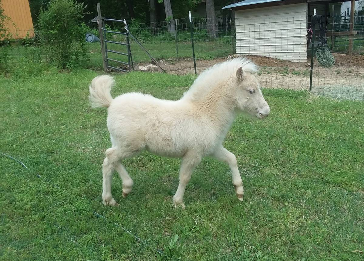 Several registered miniature horses and other breeds for sale whatsapp +27734531381