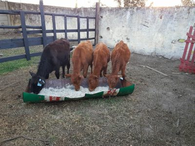 Registered Black Angus Cattle forsale