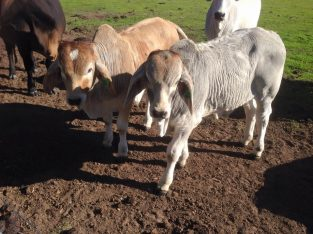 Order cattle and calves online