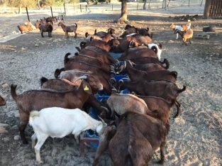 Boer and Kalahari goats for sale