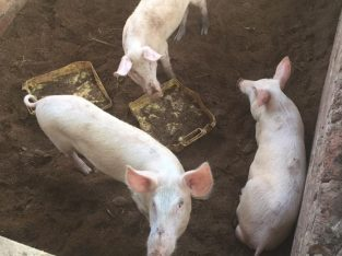 Buy Full Grown Pigs and Piglets online