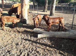 South African calves and cattle suppliers