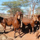 High Awesome Quality Dorper sheep for sale