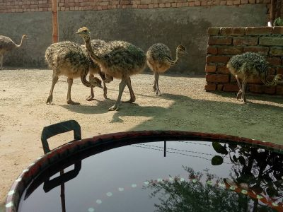 Suppliers of Black Neck Ostrich chicks And Eggs