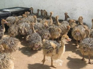 Order Black Neck Ostrich chicks and eggs online