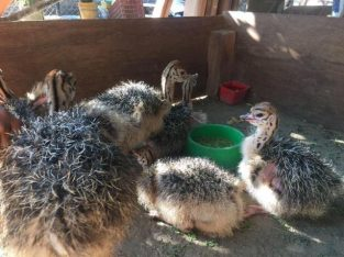 Black Neck Ostrich chicks and eggs for sale