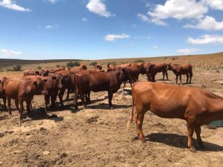 South African Heifers and Bulls suppliers