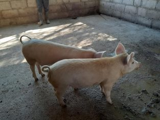 Full Grown Pigs and Piglets For sale