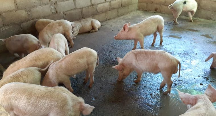 Full Grown Pigs and Piglets Farm Sales