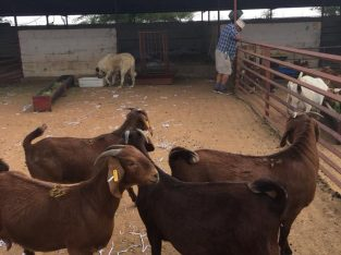 Buy Kalahari Red And Boer goats online