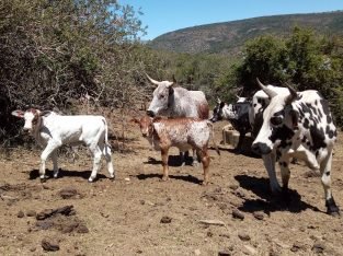 Cheap calves and cattle online