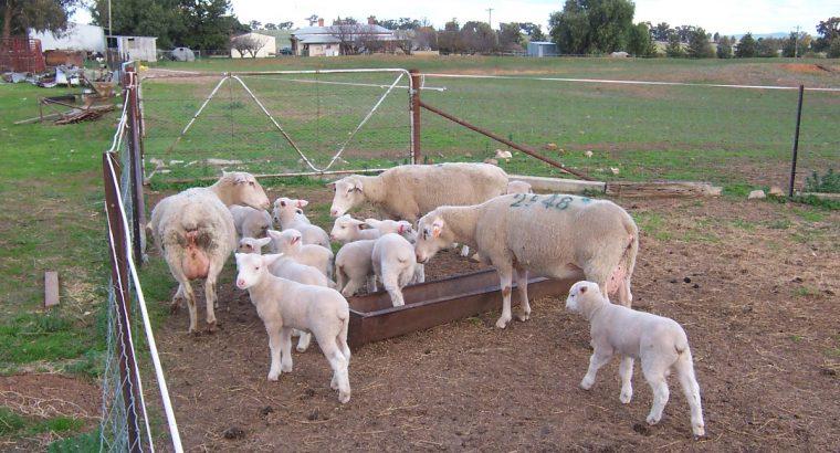Merino sheep for sale whatsapp +27631521991