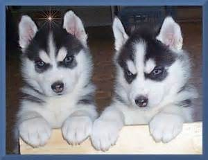 Siberian Huskies for home adoption