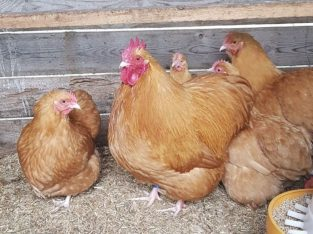 Buff Orpington chickens whatsapp +27631521991