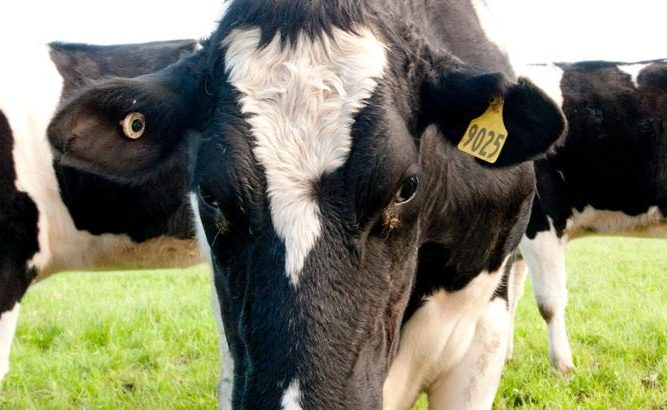 Healthy Simmental Dairy Cattle for sale /Live Preg