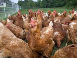 Hybrid chickens for sale Whatsapp +27631521991