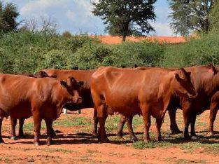 Bonsmara cow for sale whatsapp +27631521991