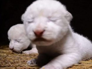 new white lion cubs for sale
