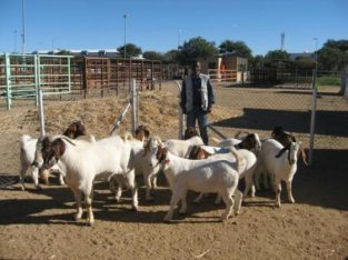 100% Full Blood Boer Goats,healthy Merino and pigs