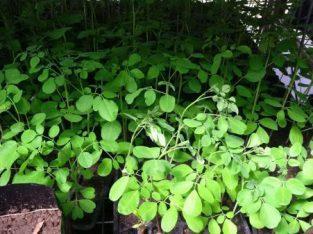 Moringa Oleifera (Miracle or Drumstick tree) seed