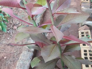 Euphorbia bicompacta red African milk tree on sale