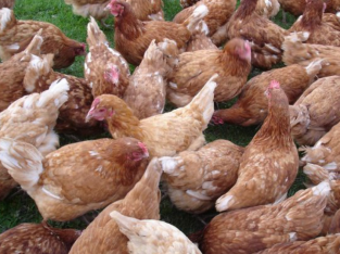 Chickens,layer cages,fresh table eggs for sale