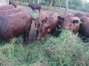 Bonsmara Cattle and Calves – Whatsapp +27832458210