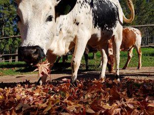 Nguni Cattle and Nguni Calves/ Whatsapp 0832458210