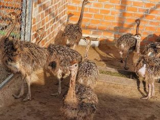 Ostrich Chicks & Ostrich Eggs- Whatsapp 0832458210