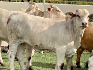 braham cows! GENTLE .100 pairs