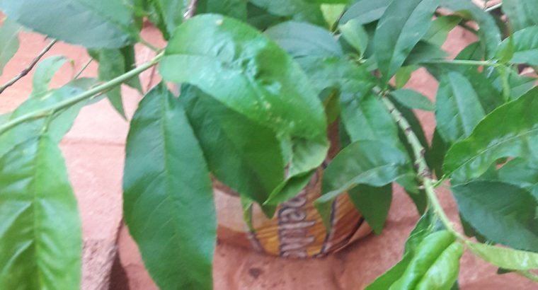 Young peach tree seedlings for sale