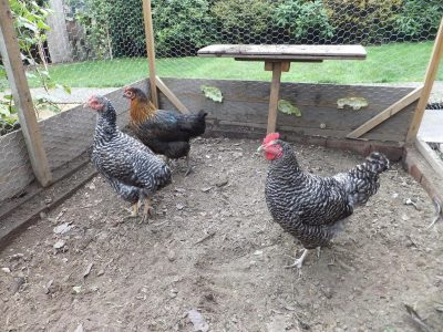 Pure Breed Chickens For Sale