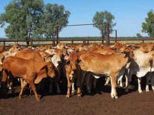 Brahman heifers for sale