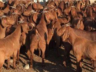 Kalahari red goats for sale