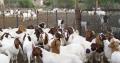 Kalahari goats for sale