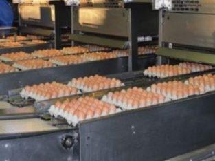 Farm Fresh Eggs and fertilized eggs.