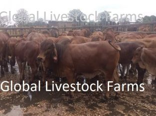 Bulls & Heifers / Live Cattle /Bonsmara , Jersey H