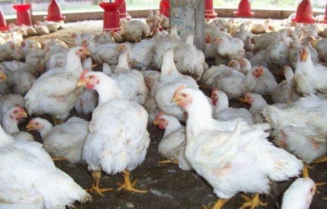 Livestock For Slaughter Or For Breeding