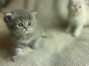 Beautiful Show Quality Lilac Scottish Fold Kittens