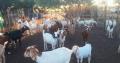 Cattle, Cows, (Bulls, Heifers, calves) live sheep