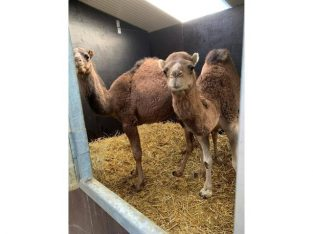 Camels for sale whatsapp +27734531381