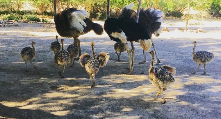Ostrich chicks for sale whatsapp +27734531381